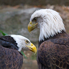 Eagle Confab by John Larson - Animals Birds