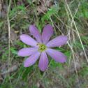 Appalachian Rose Gentian