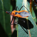 Spiny Orange assassin bugs