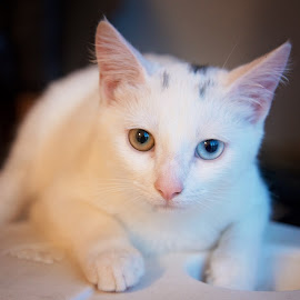 by Chrystal Olivero - Animals - Cats Portraits ( cat, unique, white, lounge, eyes )