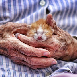Kitty by Jeffrey Genova - Animals - Cats Kittens ( old, kitten, cat, hands, kitty,  )