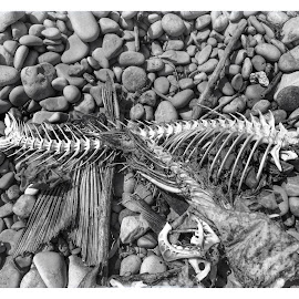 Lake Erie Skeleton by Jim Drews - Animals Fish