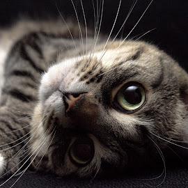 Ginger by Stephanie  Karamanian - Animals - Cats Portraits ( cat, pet, feline, tabby, animal )