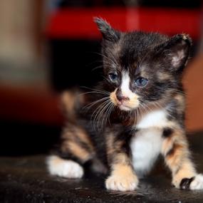 GG Jr by Mohd Roslan Hisam - Animals - Cats Kittens ( cats, kittens )