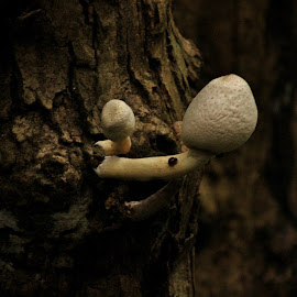 The rustic wilderness ! by Anoop Namboothiri - Nature Up Close Mushrooms & Fungi ( mushroom, wild, wilderness, tree, bark, anoop namboothiri, low light, close up, rustic, white mushroom,  )