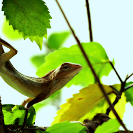 Acrobat by Binoy B Gogoi - Animals Reptiles ( garden lizard, small garden lizard, lizard, graden lizard action, calotes versicolor, beautiful garden lizard, blood sucker )