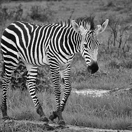 zebra by Etienne le Roux - Animals Other Mammals ( water, savannah, grass, trees, zebra, africa,  )