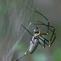 Golden Orb Weaver (female)