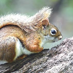Red squirrel by Jaliya Rasaputra - Animals Other Mammals (  )