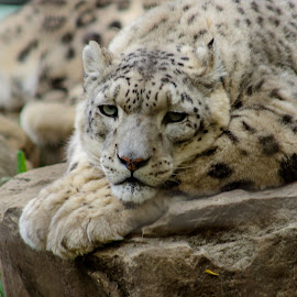 Watching by LJ Ethier - Animals Lions, Tigers & Big Cats ( wild, spotted, cat, leopard, animal )