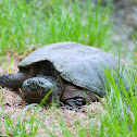 Common Snapping Turtle (Female)