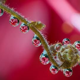 RED DROPS by Bivin Lal Photography - Nature Up Close Natural Waterdrops