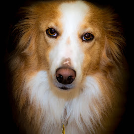 Mike by Kerry Perkins - Animals - Dogs Portraits ( dogs, pets, dog portrait, english shepherds, dog )