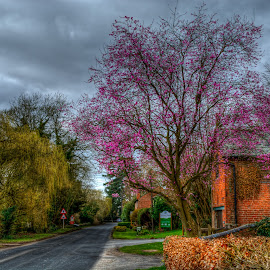 Cherry Blossom  by Nick Foster - Landscapes Travel ( village, trees, farmland, road, springtime )