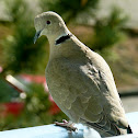The Eurasian Collared Dove