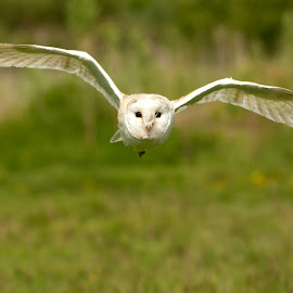 barn owl by Marcus Franklin - Animals Birds ( bird, flying, british, owl, wildlife )