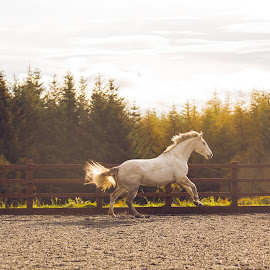 Horse at play by Walter Evans - Animals Horses ( exposure, gallop, equine, maine, wood, bright, green, horse, trott, white, fences, run, woods, equestrian, fence, sky, tree, sunset, trees, woodland, tree tops, light, hoof )
