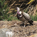 Rüppell's Vulture with chick