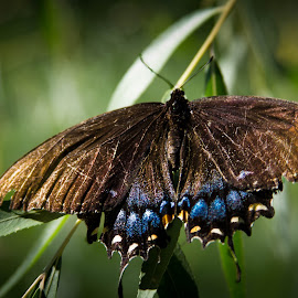 by Scott Opp - Novices Only Wildlife ( butterfly )