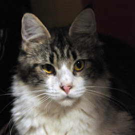 by Chelz Maine Coon Cattery - Animals - Cats Portraits ( cattery, cat, maine coon, bredder, kucing )