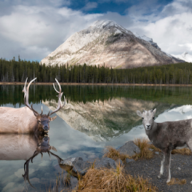 Wildlife reflections at Buller Pond. by Alan Crosthwaite - Animals Other Mammals ( animals, canada, buller pond, elk, lakes, wildlife, reflections, lake, scenic, banff, canadian rockies, banff national park, rockies, sheep )