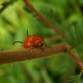 Macro by Mukesh Mishra - Novices Only Macro ( macro photography bug  red  lovely surat friends )