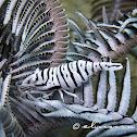 Ambon Crinoid Shrimp, Featherstar Shrimp