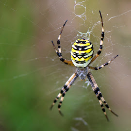 Wasp Spider by Steve Dormer - Animals Insects & Spiders