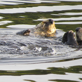 Eating Otters by Susan Felhouser - Novices Only Wildlife