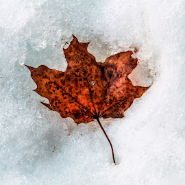 Maple leaf by Leilane Verga - Nature Up Close Leaves & Grasses ( winter, floor, canada, cold, maple leaf )