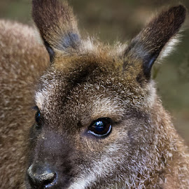 Kangaroo by Renos Hadjikyriacou - Animals Other Mammals