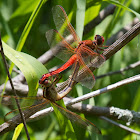 Needham's Skimmer dragonflies (mating pair)