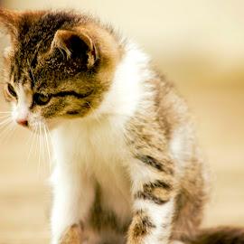 Kitty by Kelly Elle - Animals - Cats Kittens ( kitten, cat, cute, kitty, animal,  )