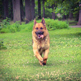 Here I come! by Sue Delia - Animals - Dogs Running ( german shepherd, dog, young, running,  )