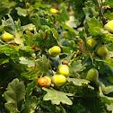 Sessile Oak, or Cornish Oak, or Durmast Oak
