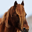Wild Pony(Chincoteague Pony)