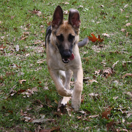 Puppy Running by Owen Rockett - Animals - Dogs Running ( german shepherd puppy runnning, gsd puppy running, german shepherd play time, gsd puppy, puppy playing )