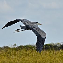 Great Blue in Flight by Steven Aicinena - Animals Birds ( everglades, heron )