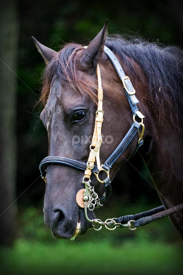 Noble sted by Pablo Barilari - Animals Horses ( animals, horses, horse )