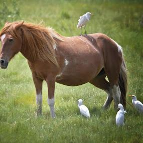 Chincoteague Wild Pony by Lynda Blair - Animals Horses