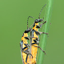 Green Soldier Beetle / Leatherwing