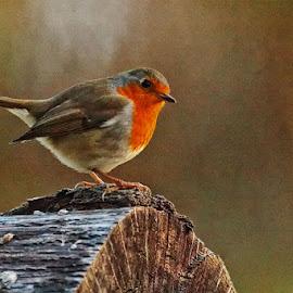Have a rest by Radu Eftimie - Animals Birds ( robin, redbreast )