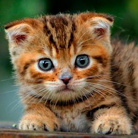 by Cacang Effendi - Animals - Cats Portraits ( cats, cattery, kitten, chandra, animal, #GARYFONGPETS, #SHOWUSYOURPETS )
