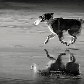 Passeio na praia by António Leão de Sousa - Animals - Dogs Running ( canon, water, blackandwhite, beaches, animals, dogs, costa de caparica, pets, reflections,  )
