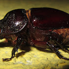 Rhinoceros Beetle (female)