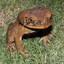 Philippines toad