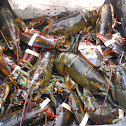 American Lobsters