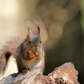 Mr NUTS by Cédric Guere - Animals Other ( wild, red, nature, wildlife, squirrel, animal )