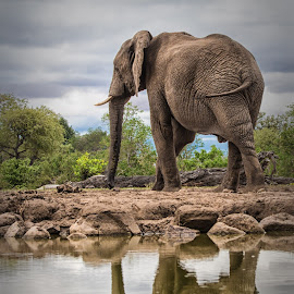 Big Bull by Paul Runze - Animals Other Mammals ( elephant, family, mashatu, 2013 botswana-mozambique )