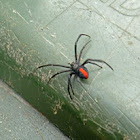 Red Back Spider (Female)